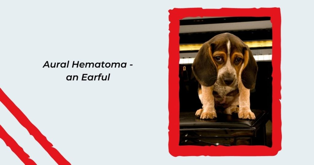 Aural Hematoma - an Earful - I Love Veterinary