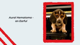 Aural Hematoma - an Earful - I Love Veterinary