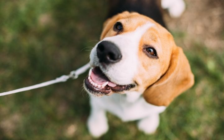 Beagle on the leash sitting on the grass - I Love Veterinary
