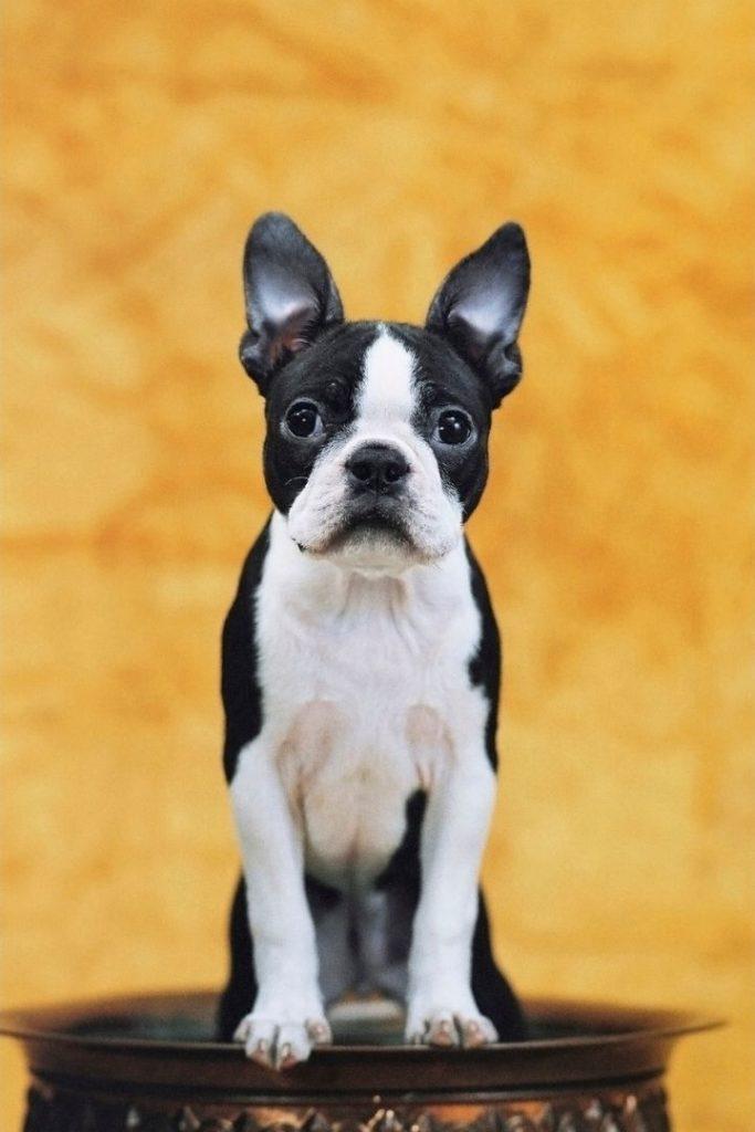 Boston terrier - I Love Veterinary