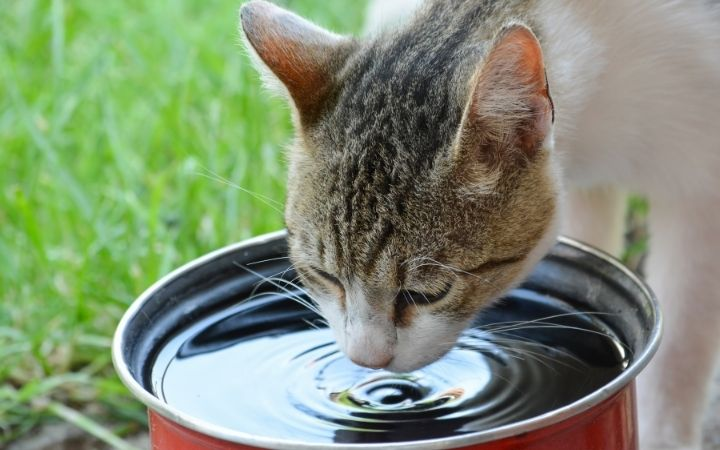 Cat drinking water in the yard with grass - I Love Veterinary