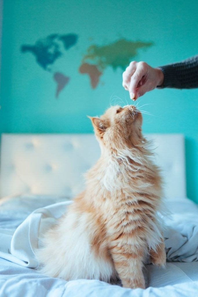 Fluffy cat sitting on the bed and waiting to get cracker from cat branded food from the owners hand - I Love Veterinary
