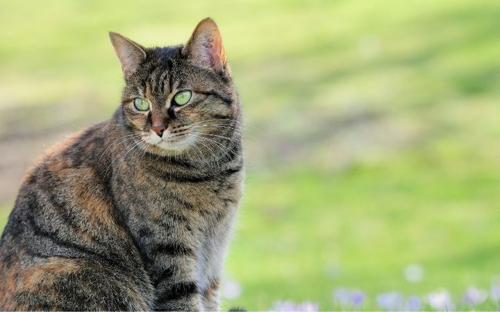 Cat sitting outdoor on the grass - I Love Veterinary