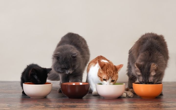 Group of cats eating from the bowls - I Love Veterinary
