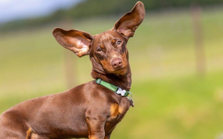 Dachshund with floppy ears - I Love Veterianry