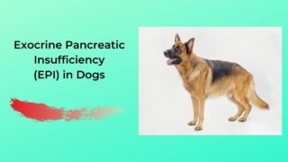 Exocrine Pancreatic Insufficiency (EPI) in Dogs - I Love Veterinary