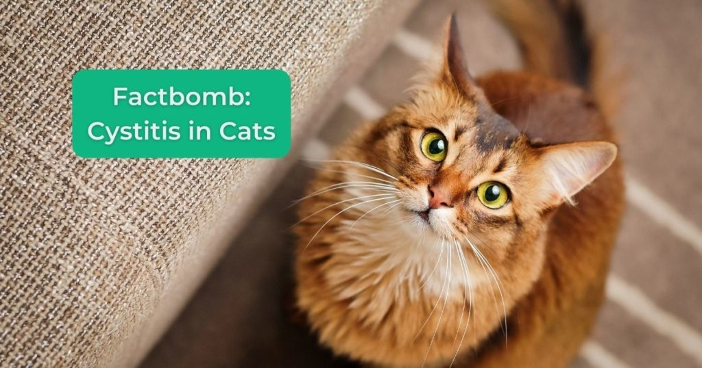 Cystitis in Cats - I Love Veterinary