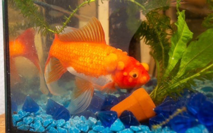 Goldfish in the tanks with Lymphocystis disease - I Love Veteirnary