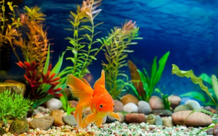 Goldfish swimming it the tank - I Love Veterinary