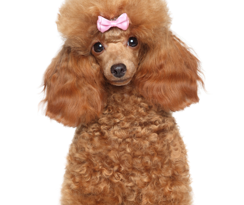 groomed dog with bow