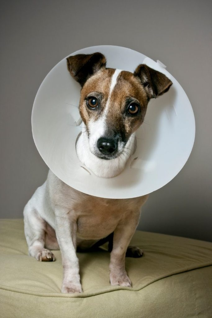 Jack Russell with Elizabethan collar to prevent damaging sebaceous cyst - I Love Veterinary