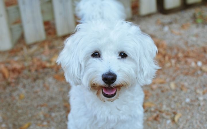 Maltese dog in front of the neighbour fence - I Love Veterinary