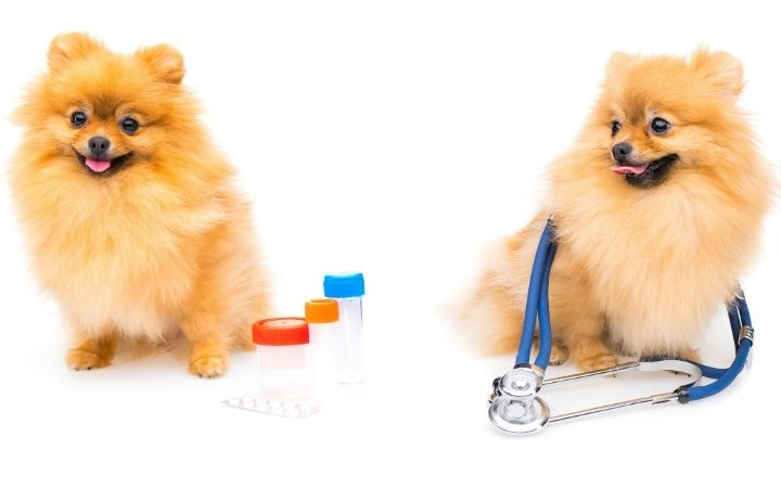 Two Pomeranian dogs, one with meds, other with stethoscope - I Love Veterinary