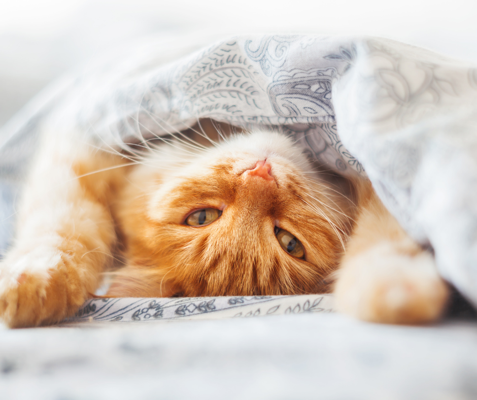Ginger cat lying upside down in a blanket on the bed