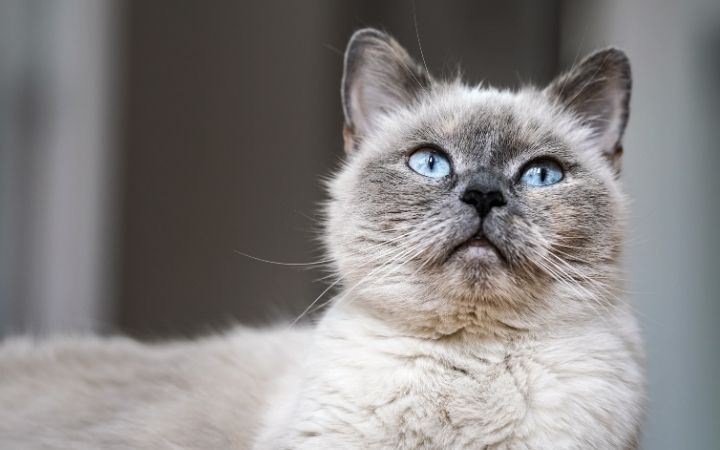 Older gray cat with blue eyes - I Love Veterinary