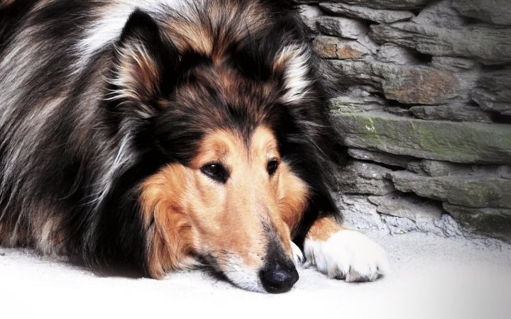 Rough Collies laying on the floor - I Love Veterinary