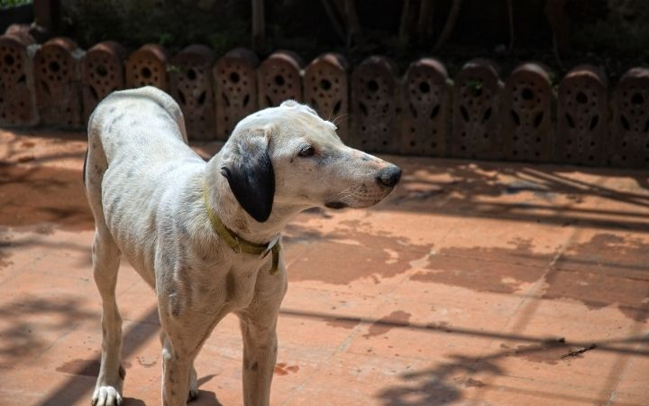 Thin dog in the yard, malnutrition caused because of the EPI in dogs - I Love Veterinary