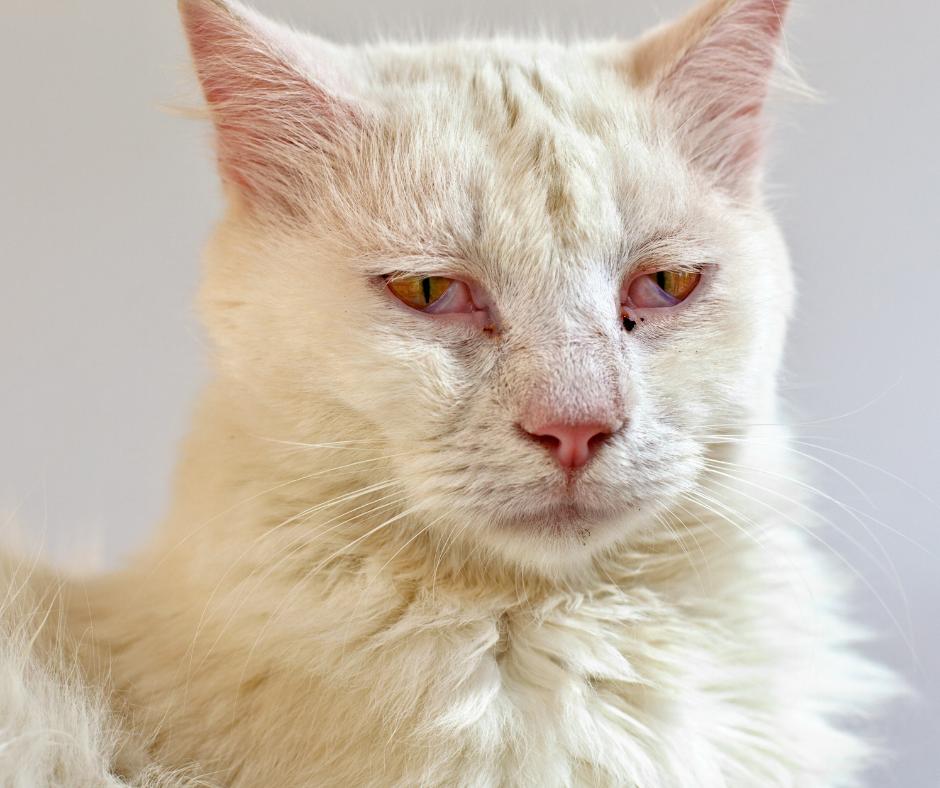 Herpes virus white cat