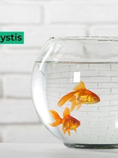 Viral Lymphocystis in Fish - I Love Veterinary