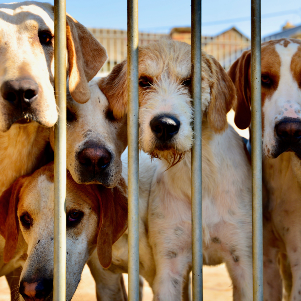 Many dogs in a kennel