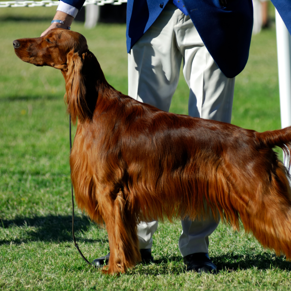 Dog being judged at a show