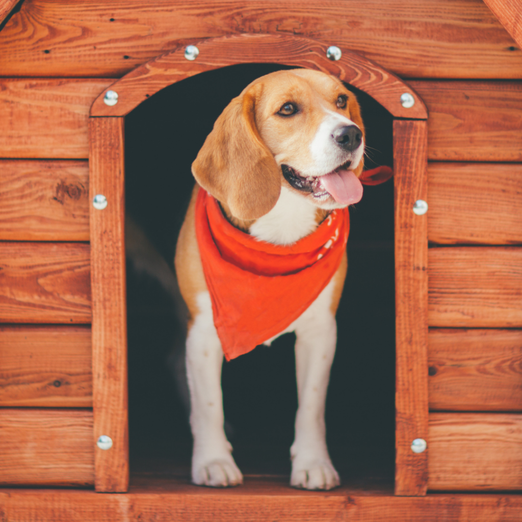 A healthy beagle pup in a dog house