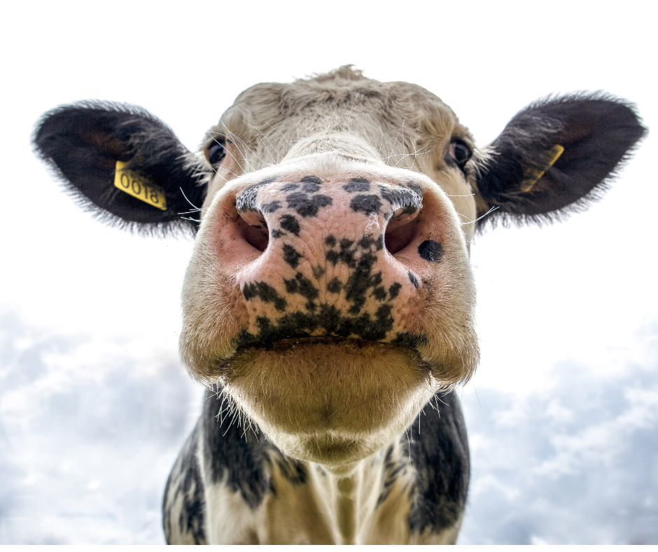 Image of cow from underneath