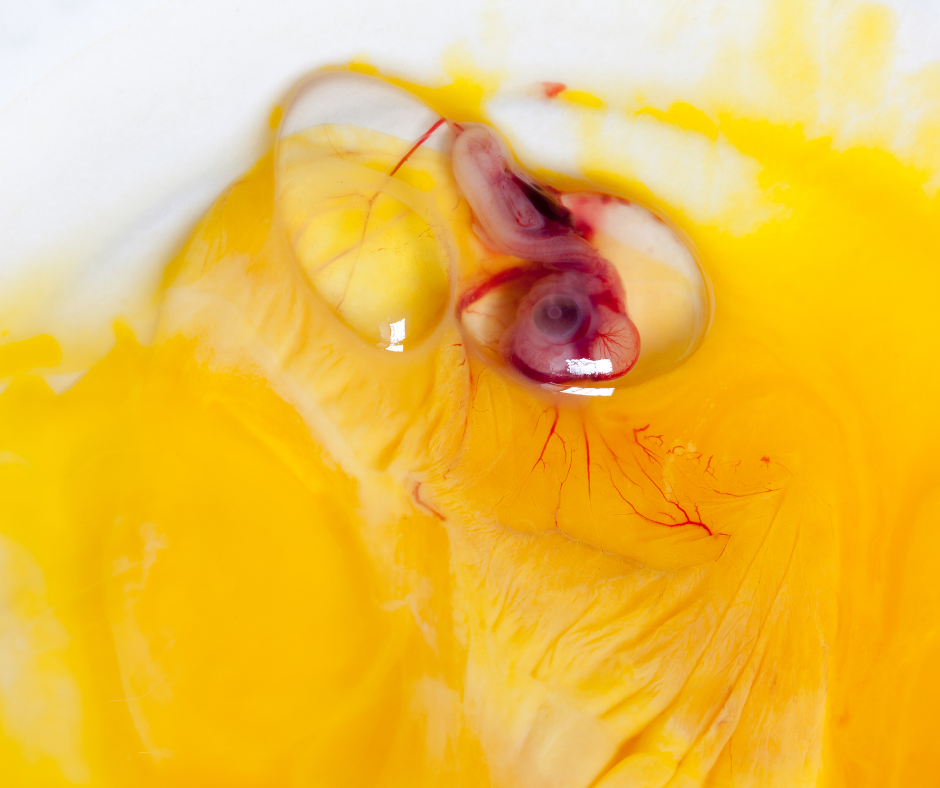 Chicken embryo developing