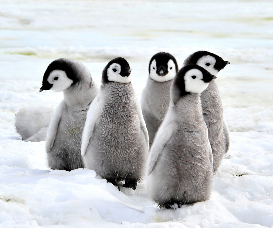 a group of baby penguins marching on the ice