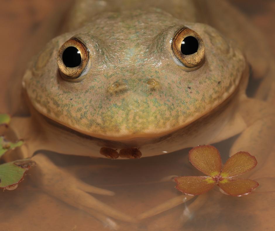 australian water-holding frog