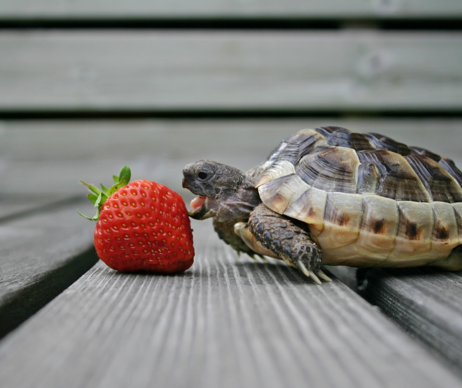 baby tortoise eating a strawberry