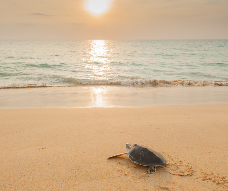 baby turtle making its way to the sea