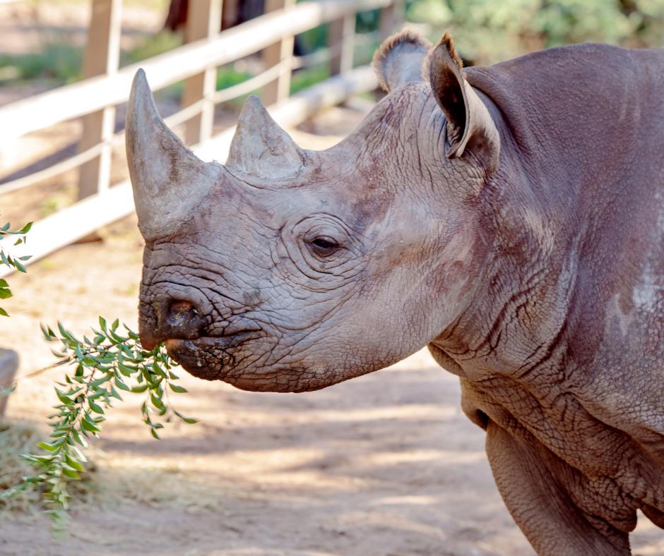 black rhinoceros foraging
