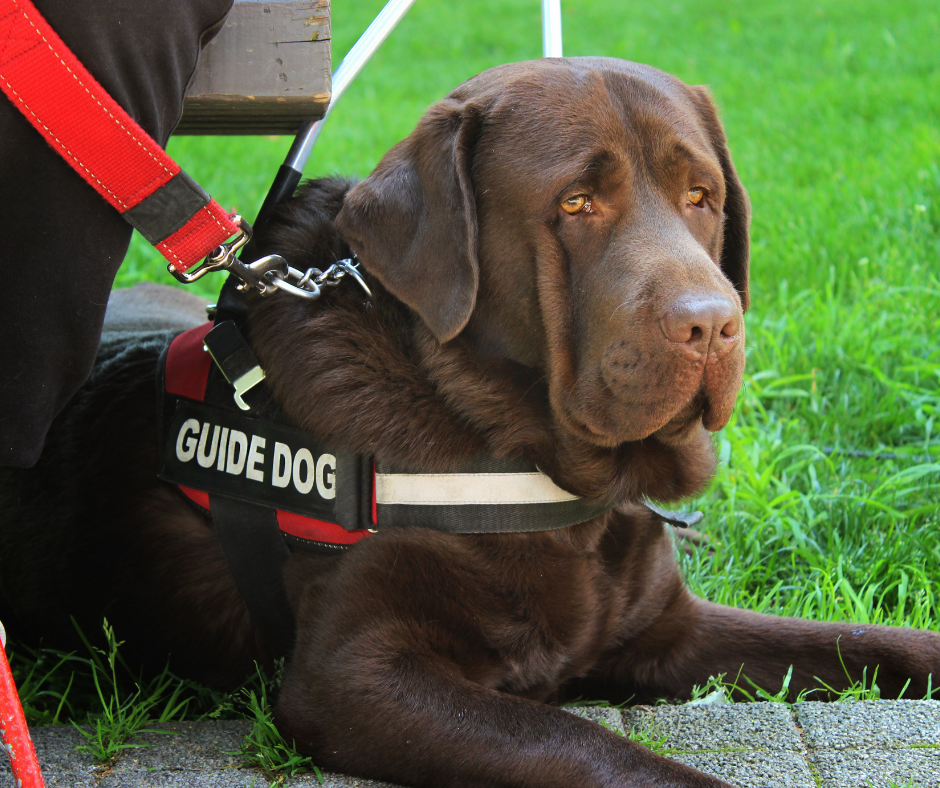 brown guide dog