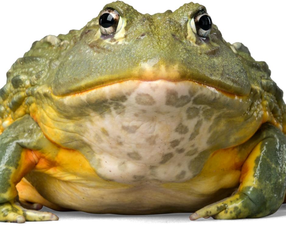 bullfrog, national frog month