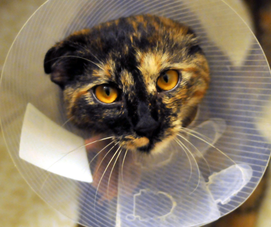 Cat with elizabethan collar