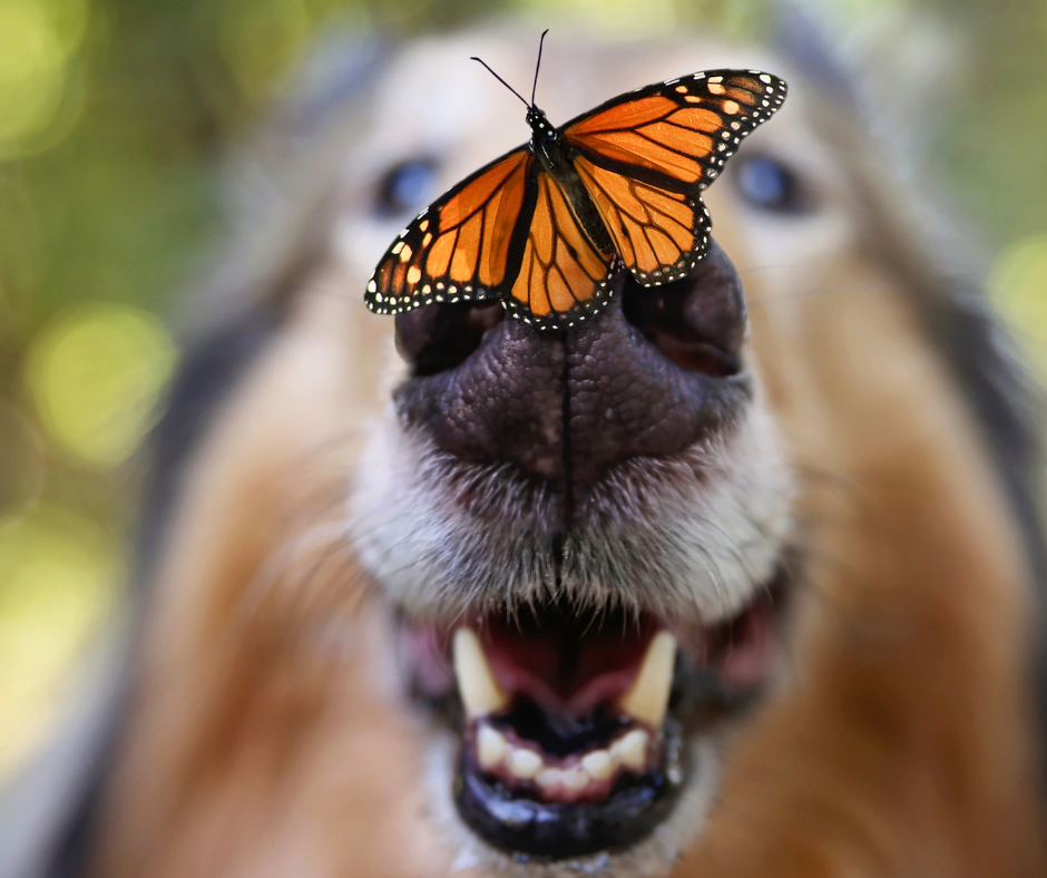 collie dog with a monarch butterfly on its nose