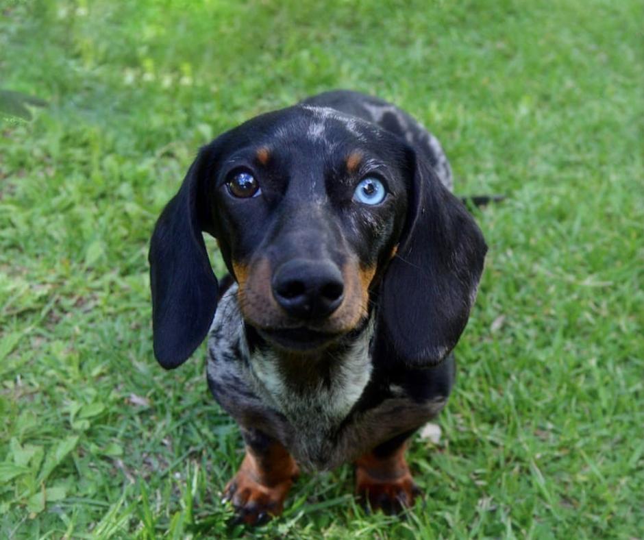 dapple dachshund with one blue eye