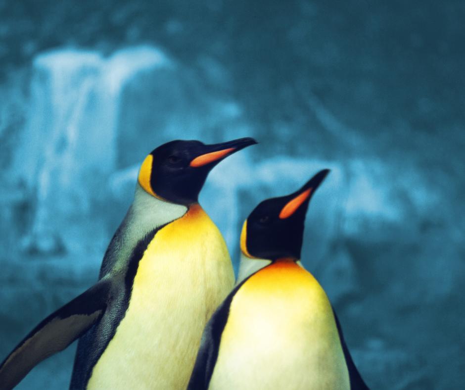 male and female penguin