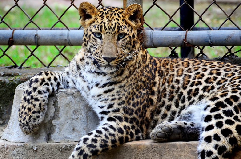 leopard in zoo enclosure