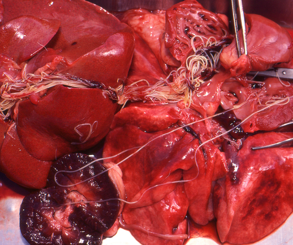 Heartworms removed during veterinary surgery