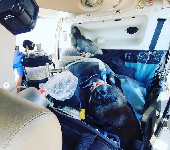 Gorilla being transported to vet clinic - I Love Veterinary