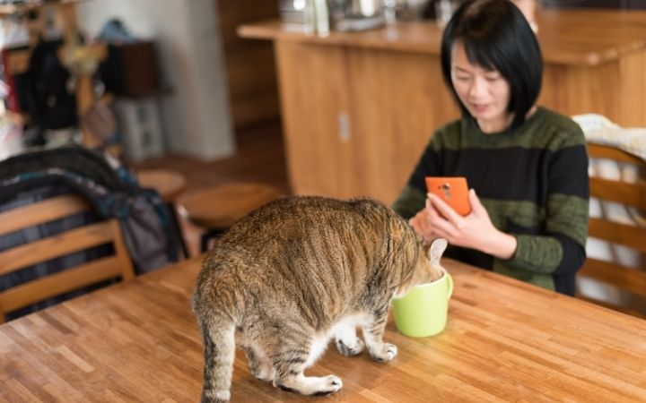 Cat drinking from the mug on the table while the female owner is looking at the phone - I Love Veterinary
