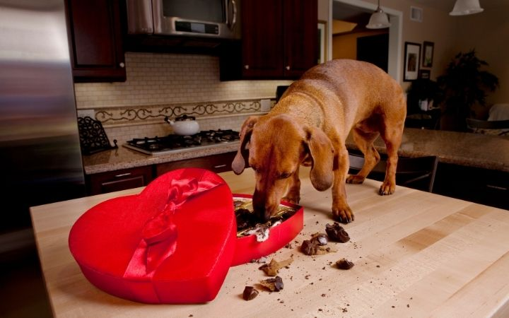 Dog eating chocolate from heart-shaped candy box - I Love Veterinary