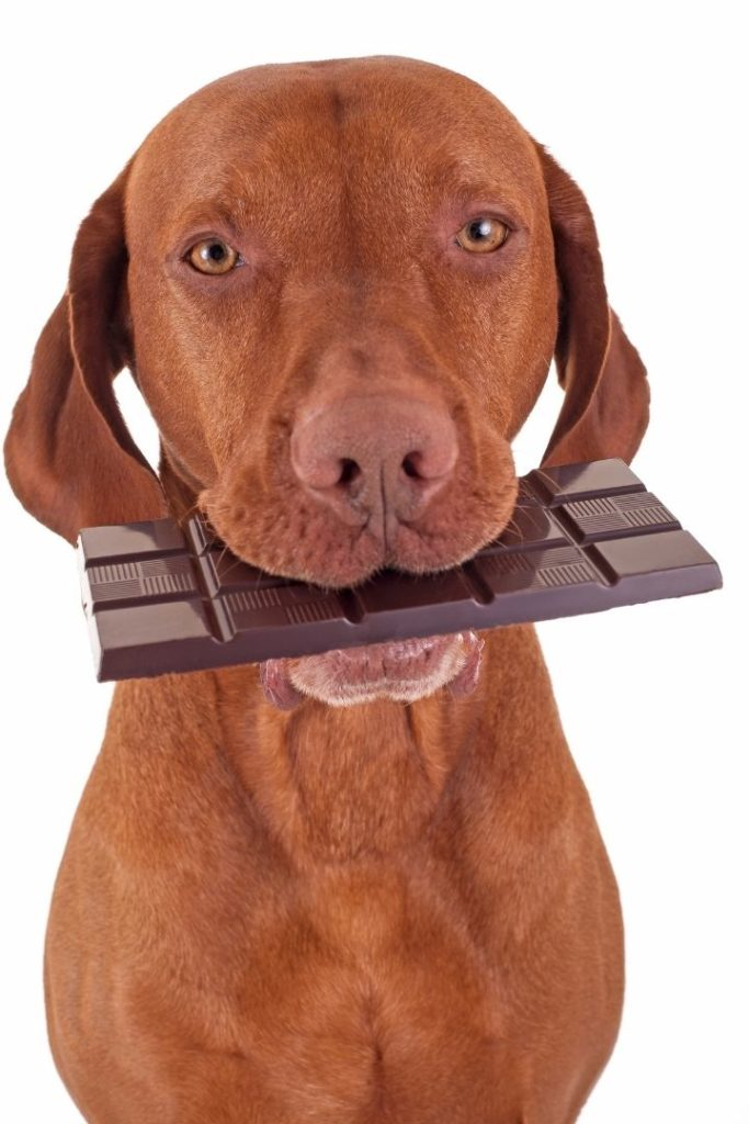 A dog holding chocolate in his mouth - I Love Veterinary