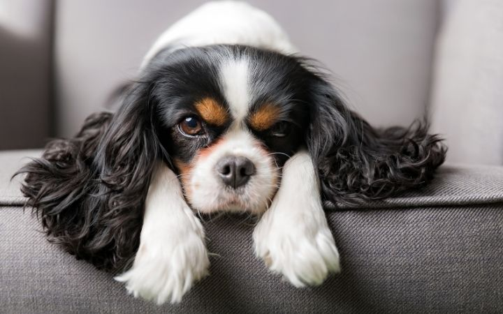 Dog laying on the sofa I Love Veterinary - Blog for Veterinarians, Vet Techs, Students