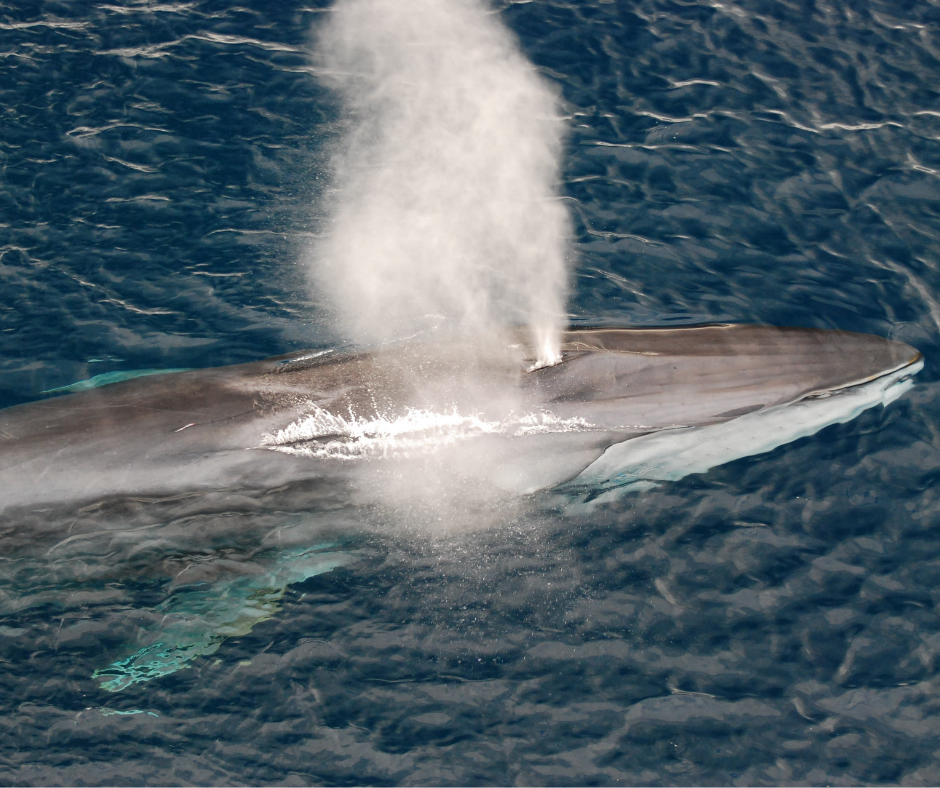 Fin whale blowing air in the ocean