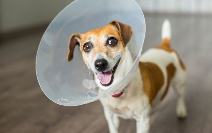 The Best Elizabethan Collar to Buy Online dog wearing a cone