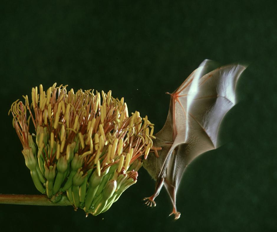 a bat pollinating a flower
