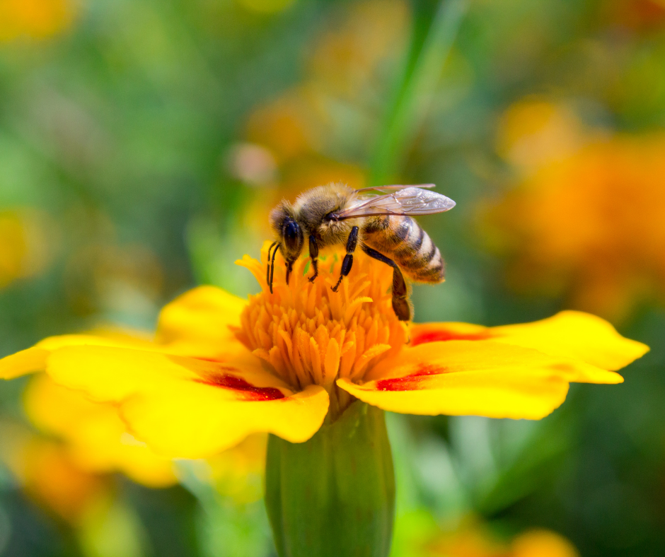 a bee pollinating a yellow flower I Love Veterinary - Blog for Veterinarians, Vet Techs, Students